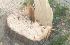 «Зачем так с липами?». В центре Пензы уничтожили взрослые деревья