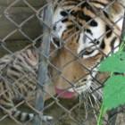 Двухмесячные тигрята предстали перед глазами посетителей Пензенского зоопарка