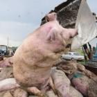 В Пензенской области снова вспыхнула африканская чума