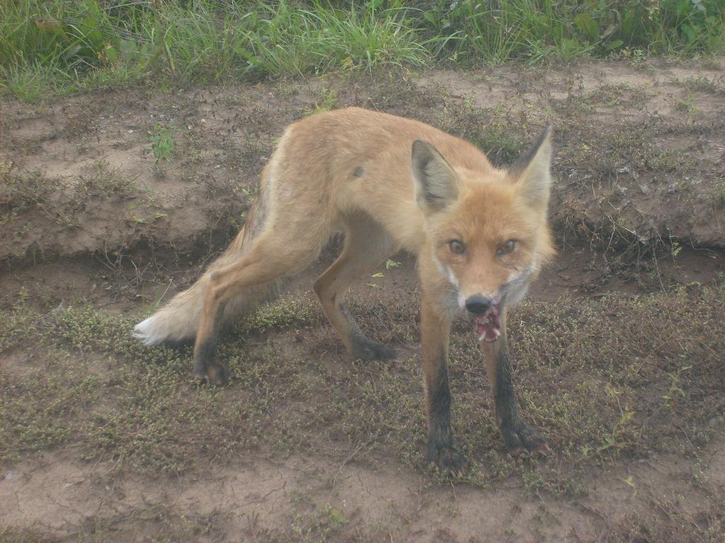 ВПензенской области 11 животных заболели бешенством