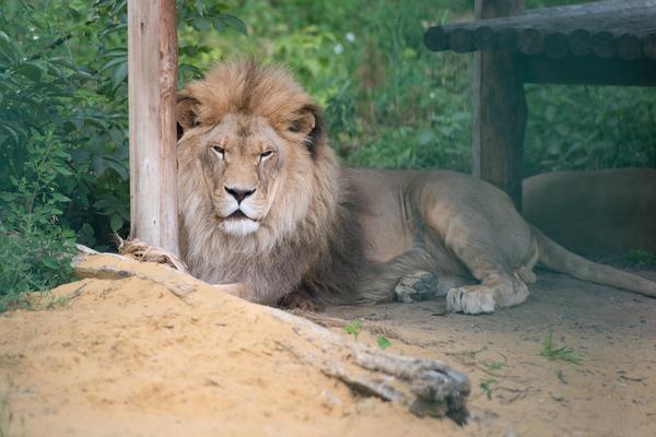 ВПензе взоопарке скончался девятнадцатилетний «царь зверей» Симба