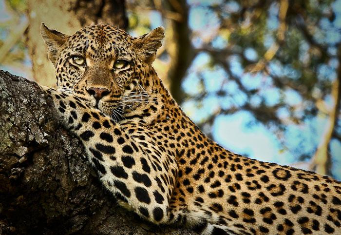 Босс саратовского контактного зоопарка, где леопард покусал детей, идет под суд