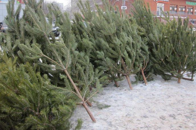 ВПензе нелегально торгуют елками