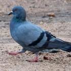 Трое человек погибли из-за голубя