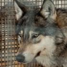 В пензенском зоопарке поселилась полярная волчица