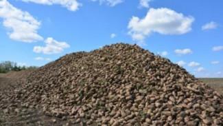 Пензенская область – на втором месте в ПФО по сбору сахарной свеклы
