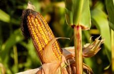 В Пензенской области двое мужчин умудрились украсть две с половиной тонны зерна кукурузы