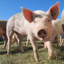 Уникальный российский робот-хирург проведет пробную операцию на свинье в Пензе