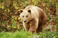 Пензенский цирковой медведь напугал белгородцев