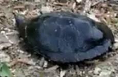 Пензенцы наткнулись на черепаху-гиганта возле водоема