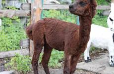 Животные пензенского зоопарка заболели футболом
