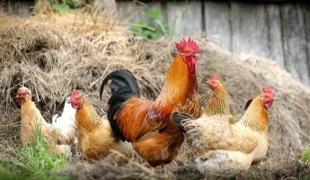 В Пензенской области выявили семь очагов птичьего гриппа