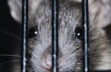 Крысиные бега. Жители Пензы сообщили о нашествии грызунов