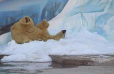 В Пензе белому медведю из зоопарка преподнесли шикарный подарок