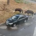 В Пензенской области лоси протаранили машину рогами