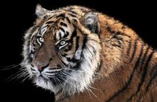 Пензенцы бурно обсуждают появление тигра на улицах города