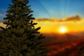 На территории Пензы елки будут продавать в 95 точках