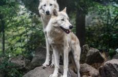 Пензенские волки дождались расселения