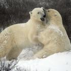 """В заложниках у """"Умки"""": белые медведи окружили село на Чукотке"""