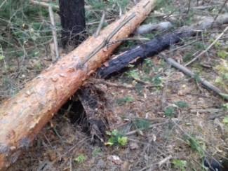 Смерть в лесу: житель Пензенской области погиб от упавшего на него дерева