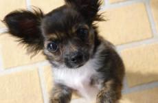 Молодая пензячка потеряла почти 80 тысяч, пытаясь продать щенков
