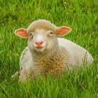 Жителей Пензы и области призывают заняться овцеводством