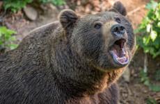 Смерть от зубов хищника: медведь разорвал своего хозяина