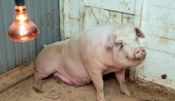 Свинка Роза из Пензы, прооперированная роботом, стала мамой во второй раз