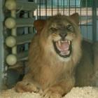 В Пензенском зоопарке в семье кошачьих произошло пополнение